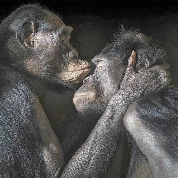beso chimpancés